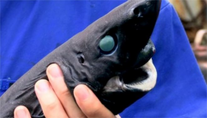 """Le """"requin-ninja"""" phosphorescent - capture d'écran d'une vidéo YouTube"""